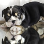 Superb Kc Reg English Bulldog Puppies