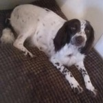 Kc Registered English Springer Spaniel Puppies