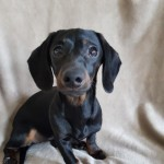 Black And Tan Miniature Dachshund Girls For Sale