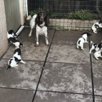 Working Bred English Springer Spaniels