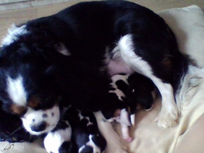 K.c Cavalier King Charles Tricolour Male Puppy