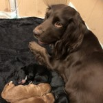 Beautiful  Teddy Bear F1 Cockapoo Puppies
