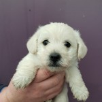 Westiepoo Puppies *3 Boys Left*