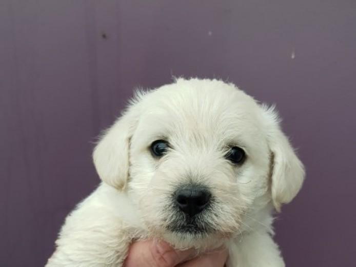 Westiepoo Puppies *3 Boys Left*