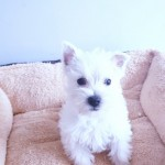 Wonderful Westies Full Pedigree