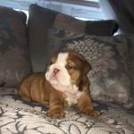 Kc Reg English Bulldog