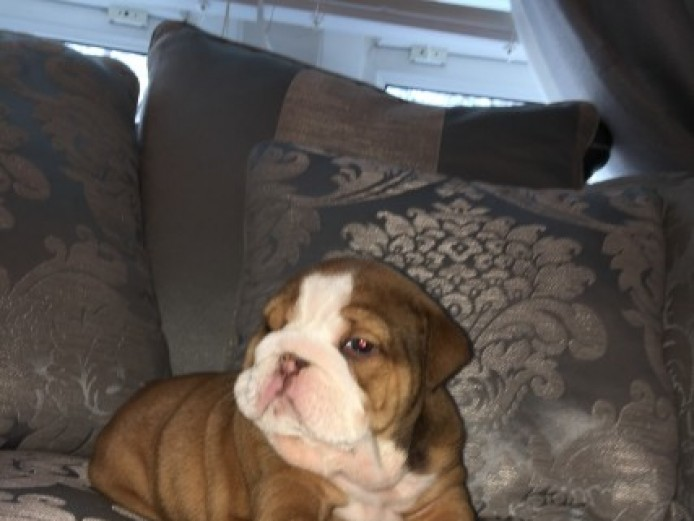 Kc Reg English Bulldog