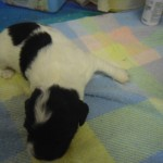 Our Precious English Springer Spaniel Bella Has Ha