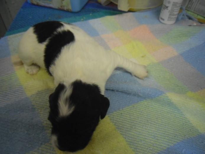 Our Precious English Springer Spaniel Bella Has Ha