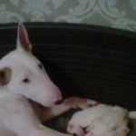 English Bull Terrier Pups Available