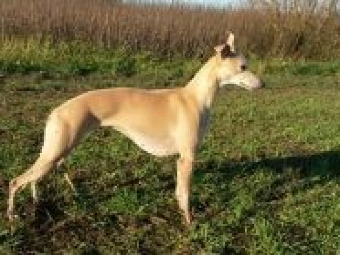 Kc Whippet Pups Due Soon, From Top Blood Lines
