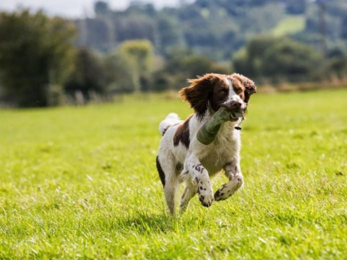 Pedigree English Springer Spaniels Pups