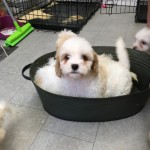 Gorgeous Cavapoo Puppies Ready For New Loving Home