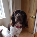 Beautiful Springer Spaniel