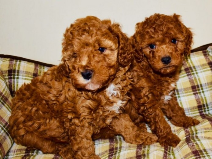 Red Toy Cavapoo Puppies - Last Two Available