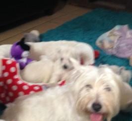 Gorgeous Westie Pups