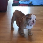 4 Beautiful K.c Reg English Bulldog Puppies