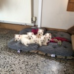 Beautiful Litter Of Westie Pups For Sale