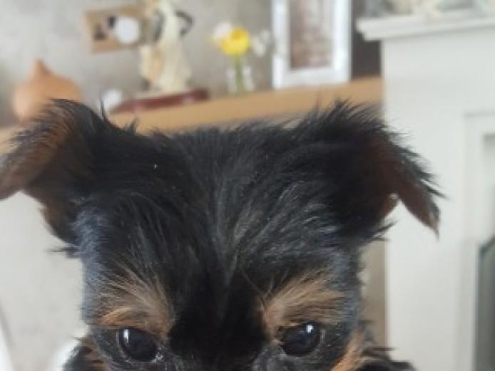 Miniture Yorkshire Terrier Pups