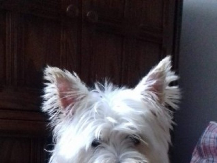 Westie Bitch Over 3 Year Old