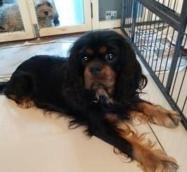3 Beautiful Kc Reg Quality Pups