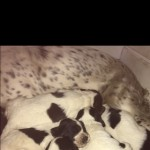 6 Beautiful Springer Spaniel Pups