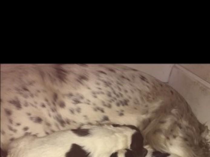 6 Beautiful Springer Spaniel Pups