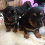 Beautiful 75% Dashhund Puppys..
