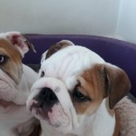 Stunning  Red&white  English Bulldog Puppy