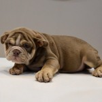 Lilac Tri English Bulldog Pups