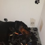 13 Gorgeous Pedigree Doberman Pups Boy/girls