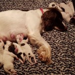 Kc Reg Springer Puppies