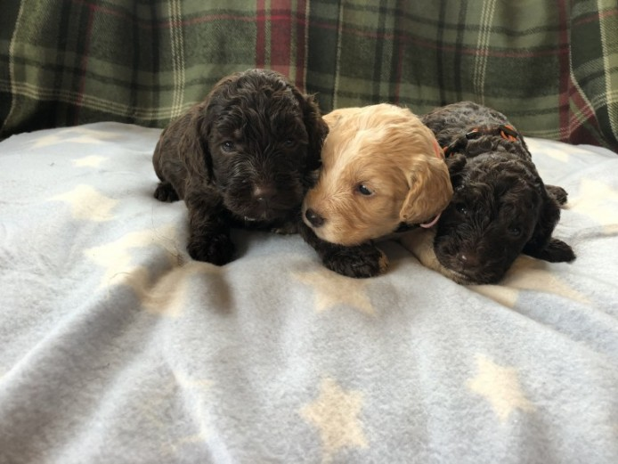 **beautiful Cockapoo Puppies***