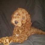 Beautiful  F1 Cockapoo Boy Puppy