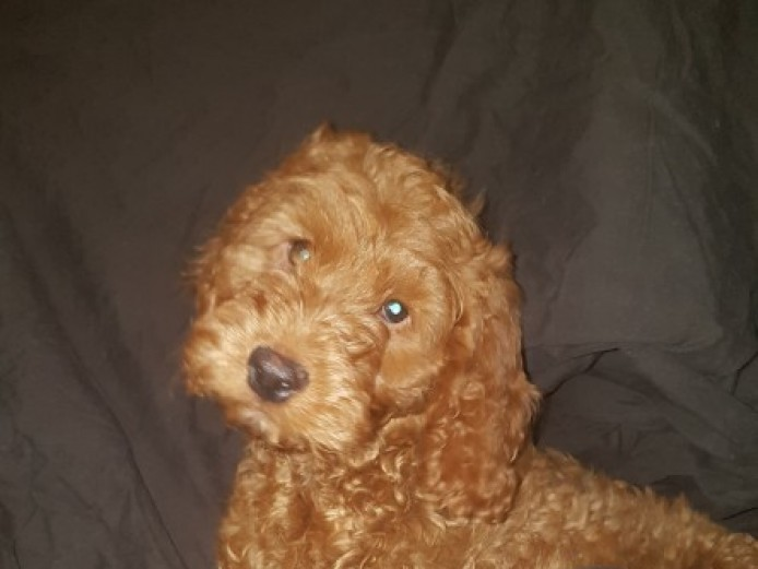Beautiful  F1 Cockapoo Boy Puppy
