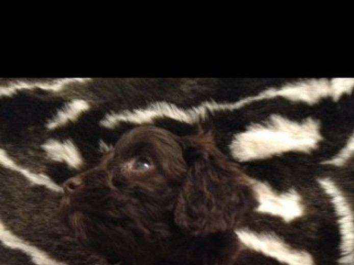 F1 Cockapoo Puppies Pra Clear. Ready For New Homes