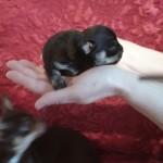 Beautiful Boy Smooth Coat Chihuahua