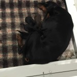 Kc Registered Dobermann Puppies Pure Pedigree