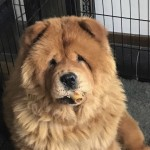 Kc Registered Chow Chow