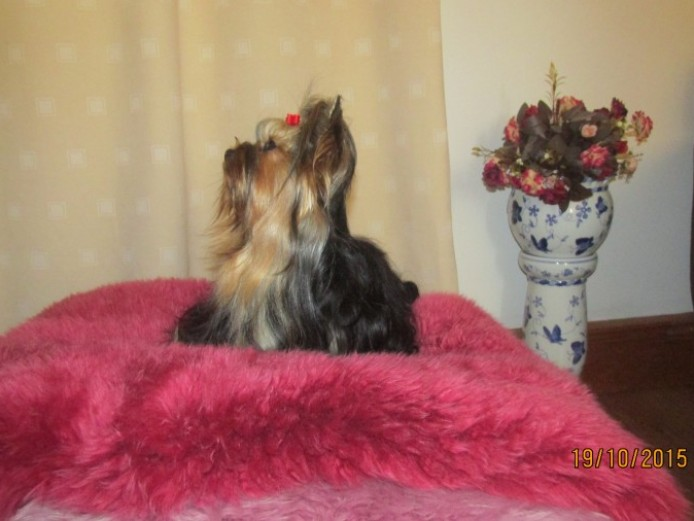 Exquisite Tea Cup Yorkshire Terrier K C Reg