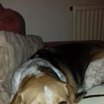 Female Tri Beagle