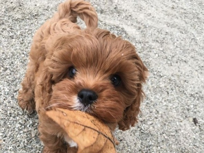 Ruby Red Health Tested Cavapoo..s