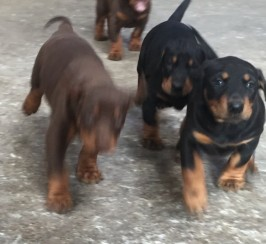 Beautiful Litter Of Kc Registered Doberman Pups