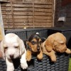 Pets  - Hush Bassets