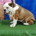 Amazing Pure English Bulldog Puppies