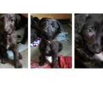 Deerhound X Lurcher Puppies . Sold