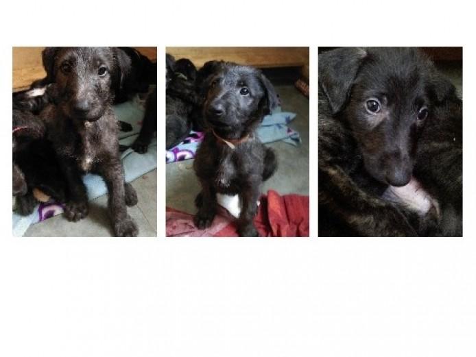Deerhound X Lurcher Puppies . Sold