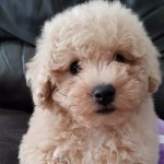 Poochon Puppies Just 1 Gorgouse Little Boy Left
