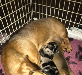 Kc Reg . Pra Clear Mini Smooth Dachshund Puppies