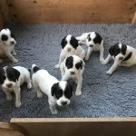 Kc Registered Springer Spaniels
